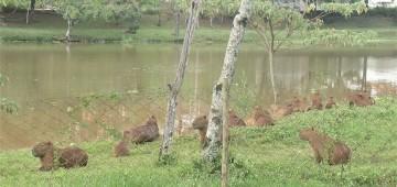 Secretaria monitora capivaras que vivem no Horto Florestal